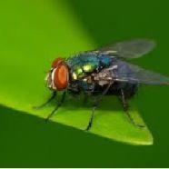 Lalat